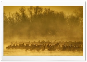 Sandhill Cranes Birds, Mist, Sunrise Ultra HD Wallpaper for 4K UHD Widescreen desktop, tablet & smartphone