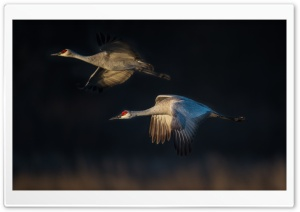 Sandhill Cranes in Flight HD Wide Wallpaper for Widescreen