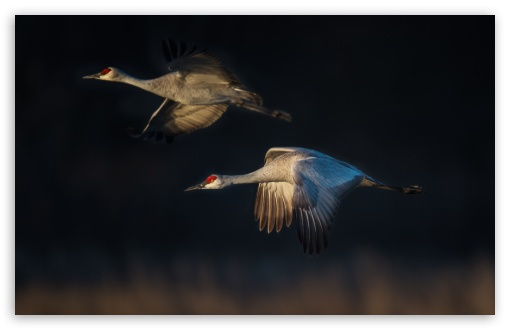 Sandhill Cranes in Flight ❤ 4K UHD Wallpaper for Wide 16:10 5:3 Widescreen WHXGA WQXGA WUXGA WXGA WGA ; UltraWide 21:9 ; 4K UHD 16:9 Ultra High Definition 2160p 1440p 1080p 900p 720p ; Standard 4:3 5:4 3:2 Fullscreen UXGA XGA SVGA QSXGA SXGA DVGA HVGA HQVGA ( Apple PowerBook G4 iPhone 4 3G 3GS iPod Touch ) ; iPad 1/2/Mini ; Mobile 4:3 5:3 3:2 16:9 5:4 - UXGA XGA SVGA WGA DVGA HVGA HQVGA ( Apple PowerBook G4 iPhone 4 3G 3GS iPod Touch ) 2160p 1440p 1080p 900p 720p QSXGA SXGA ;