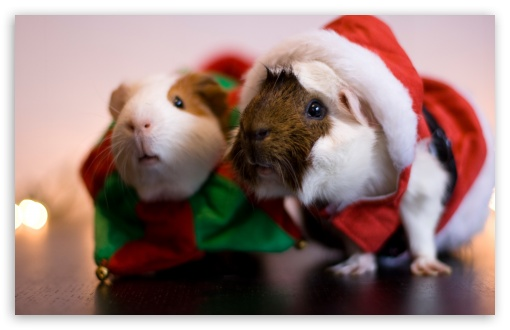 Santa Guinea Pig HD wallpaper for Standard 4:3 5:4 Fullscreen UXGA XGA SVGA QSXGA SXGA ; Wide 16:10 5:3 Widescreen WHXGA WQXGA WUXGA WXGA WGA ; HD 16:9 High Definition WQHD QWXGA 1080p 900p 720p QHD nHD ; Other 3:2 DVGA HVGA HQVGA devices ( Apple PowerBook G4 iPhone 4 3G 3GS iPod Touch ) ; Mobile VGA WVGA iPhone iPad PSP Phone - VGA QVGA Smartphone ( PocketPC GPS iPod Zune BlackBerry HTC Samsung LG Nokia Eten Asus ) WVGA WQVGA Smartphone ( HTC Samsung Sony Ericsson LG Vertu MIO ) HVGA Smartphone ( Apple iPhone iPod BlackBerry HTC Samsung Nokia ) Sony PSP Zune HD Zen ;