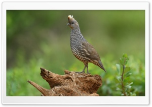 Scaled Quail bird HD Wide Wallpaper for Widescreen