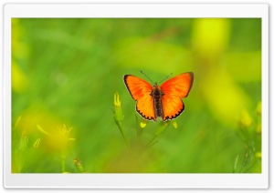 Scarce Copper Butterfly HD Wide Wallpaper for Widescreen