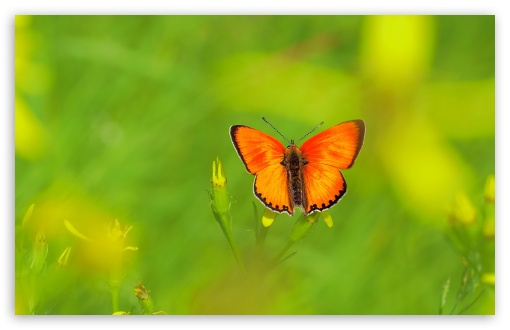 Scarce Copper Butterfly ❤ 4K UHD Wallpaper for Wide 16:10 5:3 Widescreen WHXGA WQXGA WUXGA WXGA WGA ; UltraWide 21:9 ; 4K UHD 16:9 Ultra High Definition 2160p 1440p 1080p 900p 720p ; Standard 4:3 5:4 3:2 Fullscreen UXGA XGA SVGA QSXGA SXGA DVGA HVGA HQVGA ( Apple PowerBook G4 iPhone 4 3G 3GS iPod Touch ) ; Smartphone 16:9 3:2 5:3 2160p 1440p 1080p 900p 720p DVGA HVGA HQVGA ( Apple PowerBook G4 iPhone 4 3G 3GS iPod Touch ) WGA ; Tablet 1:1 ; iPad 1/2/Mini ; Mobile 4:3 5:3 3:2 16:9 5:4 - UXGA XGA SVGA WGA DVGA HVGA HQVGA ( Apple PowerBook G4 iPhone 4 3G 3GS iPod Touch ) 2160p 1440p 1080p 900p 720p QSXGA SXGA ; Dual 16:10 5:3 16:9 4:3 5:4 3:2 WHXGA WQXGA WUXGA WXGA WGA 2160p 1440p 1080p 900p 720p UXGA XGA SVGA QSXGA SXGA DVGA HVGA HQVGA ( Apple PowerBook G4 iPhone 4 3G 3GS iPod Touch ) ;