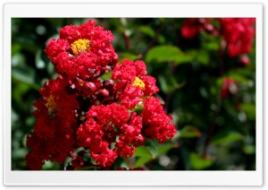 Scarlet Crepe Myrtle HD Wide Wallpaper for Widescreen