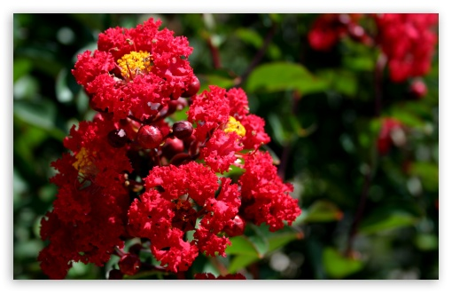Scarlet Crepe Myrtle ❤ 4K UHD Wallpaper for Wide 16:10 5:3 Widescreen WHXGA WQXGA WUXGA WXGA WGA ; 4K UHD 16:9 Ultra High Definition 2160p 1440p 1080p 900p 720p ; Standard 4:3 5:4 3:2 Fullscreen UXGA XGA SVGA QSXGA SXGA DVGA HVGA HQVGA ( Apple PowerBook G4 iPhone 4 3G 3GS iPod Touch ) ; Smartphone 5:3 WGA ; Tablet 1:1 ; iPad 1/2/Mini ; Mobile 4:3 5:3 3:2 16:9 5:4 - UXGA XGA SVGA WGA DVGA HVGA HQVGA ( Apple PowerBook G4 iPhone 4 3G 3GS iPod Touch ) 2160p 1440p 1080p 900p 720p QSXGA SXGA ;