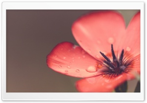 Scarlet Flax Flower Macro HD Wide Wallpaper for Widescreen
