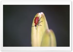 Scarlet Lily Beetle HD Wide Wallpaper for Widescreen
