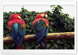 Scarlet Macaw Parrots HD Wide Wallpaper for Widescreen