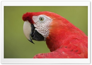 Scarlet Macaw Portrait Amazon Ecosystem Peru HD Wide Wallpaper for Widescreen