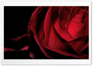 Scarlet Rose, Macro HD Wide Wallpaper for Widescreen