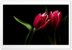 Scarlet Tulip HD Wide Wallpaper for Widescreen
