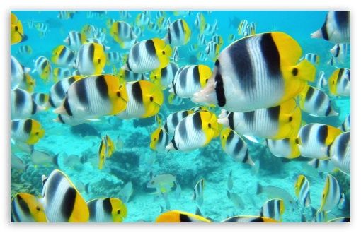School Of Tropical Fish Tahiti HD wallpaper for Wide 16:10 5:3 Widescreen WHXGA WQXGA WUXGA WXGA WGA ; HD 16:9 High Definition WQHD QWXGA 1080p 900p 720p QHD nHD ; Standard 4:3 5:4 3:2 Fullscreen UXGA XGA SVGA QSXGA SXGA DVGA HVGA HQVGA devices ( Apple PowerBook G4 iPhone 4 3G 3GS iPod Touch ) ; Tablet 1:1 ; iPad 1/2/Mini ; Mobile 4:3 5:3 3:2 16:9 5:4 - UXGA XGA SVGA WGA DVGA HVGA HQVGA devices ( Apple PowerBook G4 iPhone 4 3G 3GS iPod Touch ) WQHD QWXGA 1080p 900p 720p QHD nHD QSXGA SXGA ;