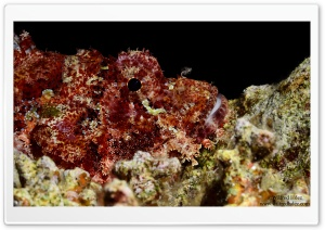 Scorpionfish HD Wide Wallpaper for Widescreen