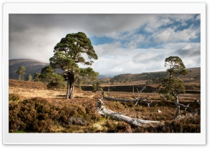 Scots Pine Ultra HD Wallpaper for 4K UHD Widescreen desktop, tablet & smartphone