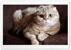 Scottish Fold Cat Ultra HD Wallpaper for 4K UHD Widescreen desktop, tablet & smartphone