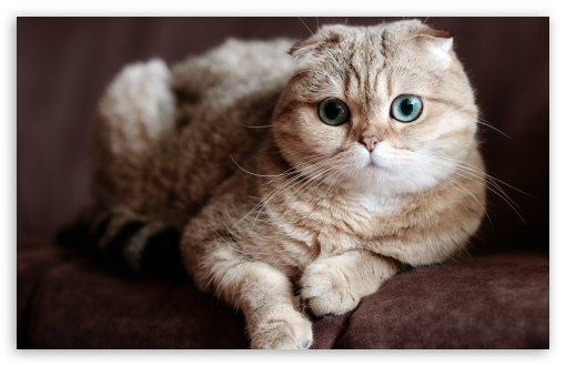 Scottish Fold Cat Ultra Hd Desktop Background Wallpaper For 4k Uhd Tv Widescreen Ultrawide Desktop Laptop Tablet Smartphone