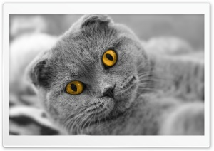 Scottish Fold Cute Cat HD Wide Wallpaper for Widescreen