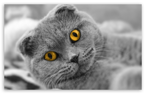 Scottish Fold Cute Cat ❤ 4K UHD Wallpaper for Wide 16:10 5:3 Widescreen WHXGA WQXGA WUXGA WXGA WGA ; 4K UHD 16:9 Ultra High Definition 2160p 1440p 1080p 900p 720p ; Standard 4:3 5:4 3:2 Fullscreen UXGA XGA SVGA QSXGA SXGA DVGA HVGA HQVGA ( Apple PowerBook G4 iPhone 4 3G 3GS iPod Touch ) ; Tablet 1:1 ; iPad 1/2/Mini ; Mobile 4:3 5:3 3:2 16:9 5:4 - UXGA XGA SVGA WGA DVGA HVGA HQVGA ( Apple PowerBook G4 iPhone 4 3G 3GS iPod Touch ) 2160p 1440p 1080p 900p 720p QSXGA SXGA ;