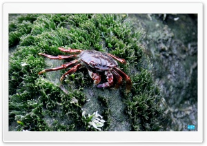 Sea Crab HD Wide Wallpaper for Widescreen