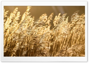 Sea Of Reeds HD Wide Wallpaper for Widescreen