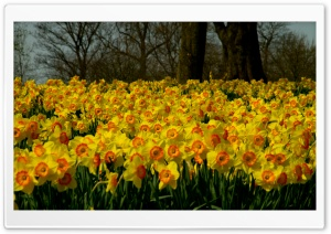 Sea Of Yellow Daffodils HD Wide Wallpaper for Widescreen