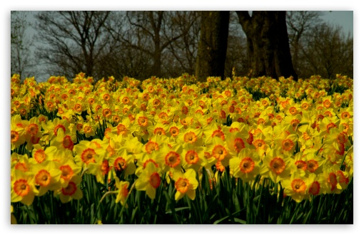 Sea Of Yellow Daffodils ❤ 4K UHD Wallpaper for Wide 16:10 5:3 Widescreen WHXGA WQXGA WUXGA WXGA WGA ; 4K UHD 16:9 Ultra High Definition 2160p 1440p 1080p 900p 720p ; UHD 16:9 2160p 1440p 1080p 900p 720p ; Standard 4:3 5:4 3:2 Fullscreen UXGA XGA SVGA QSXGA SXGA DVGA HVGA HQVGA ( Apple PowerBook G4 iPhone 4 3G 3GS iPod Touch ) ; Tablet 1:1 ; iPad 1/2/Mini ; Mobile 4:3 5:3 3:2 16:9 5:4 - UXGA XGA SVGA WGA DVGA HVGA HQVGA ( Apple PowerBook G4 iPhone 4 3G 3GS iPod Touch ) 2160p 1440p 1080p 900p 720p QSXGA SXGA ; Dual 16:10 5:3 16:9 4:3 5:4 WHXGA WQXGA WUXGA WXGA WGA 2160p 1440p 1080p 900p 720p UXGA XGA SVGA QSXGA SXGA ;