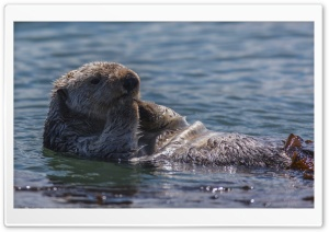 Sea Otter Eating HD Wide Wallpaper for 4K UHD Widescreen desktop & smartphone