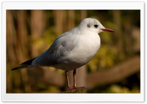 Seagull Bird HD Wide Wallpaper for Widescreen