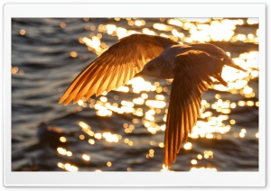 Seagull Flying HD Wide Wallpaper for Widescreen