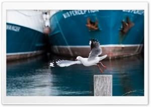 Seagull, Fremantle HD Wide Wallpaper for Widescreen