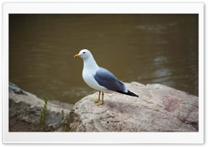 Seagull Standing on Rock HD Wide Wallpaper for Widescreen