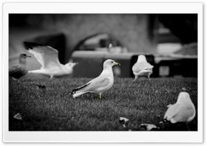 Seagulls HD Wide Wallpaper for Widescreen