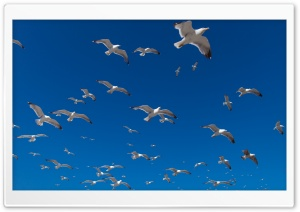 Seagulls HD Wide Wallpaper for 4K UHD Widescreen desktop & smartphone