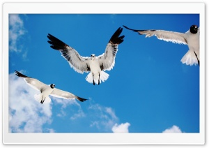 Seagulls Attack HD Wide Wallpaper for 4K UHD Widescreen desktop & smartphone