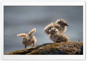Seagulls Chicks HD Wide Wallpaper for 4K UHD Widescreen desktop & smartphone