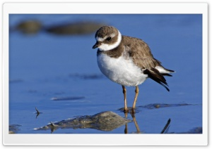 Semipalmated Plover Sanibel Island Florida HD Wide Wallpaper for Widescreen