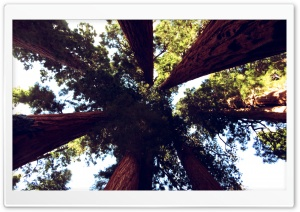 Sequoia Trees HD Wide Wallpaper for Widescreen