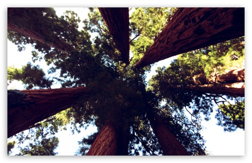 Sequoia Trees HD wallpaper for Wide 16:10 5:3 Widescreen WHXGA WQXGA WUXGA WXGA WGA ; HD 16:9 High Definition WQHD QWXGA 1080p 900p 720p QHD nHD ; Standard 4:3 5:4 3:2 Fullscreen UXGA XGA SVGA QSXGA SXGA DVGA HVGA HQVGA devices ( Apple PowerBook G4 iPhone 4 3G 3GS iPod Touch ) ; Tablet 1:1 ; iPad 1/2/Mini ; Mobile 4:3 5:3 3:2 16:9 5:4 - UXGA XGA SVGA WGA DVGA HVGA HQVGA devices ( Apple PowerBook G4 iPhone 4 3G 3GS iPod Touch ) WQHD QWXGA 1080p 900p 720p QHD nHD QSXGA SXGA ;