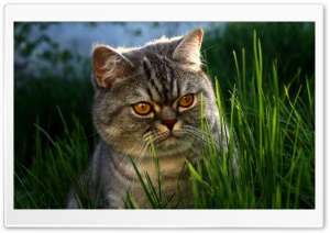 Serious Cat HD Wide Wallpaper for Widescreen