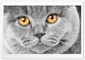 Serious Grey Cat HD Wide Wallpaper for Widescreen