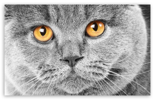 Serious Grey Cat HD wallpaper for Wide 16:10 5:3 Widescreen WHXGA WQXGA WUXGA WXGA WGA ; HD 16:9 High Definition WQHD QWXGA 1080p 900p 720p QHD nHD ; Standard 3:2 Fullscreen DVGA HVGA HQVGA devices ( Apple PowerBook G4 iPhone 4 3G 3GS iPod Touch ) ; Mobile 5:3 3:2 16:9 - WGA DVGA HVGA HQVGA devices ( Apple PowerBook G4 iPhone 4 3G 3GS iPod Touch ) WQHD QWXGA 1080p 900p 720p QHD nHD ;