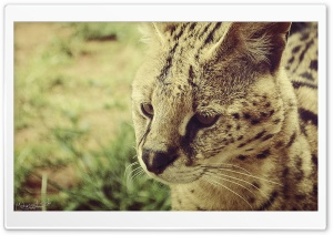 Serval HD Wide Wallpaper for Widescreen