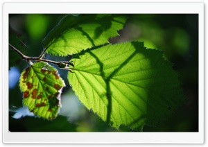 Shadow Leaves Ultra HD Wallpaper for 4K UHD Widescreen desktop, tablet & smartphone