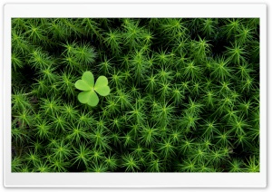 Shamrock And Irish Moss HD Wide Wallpaper for 4K UHD Widescreen desktop & smartphone