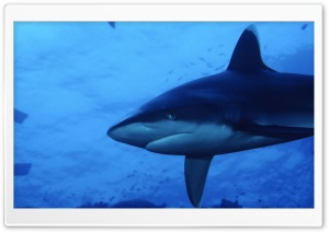 Shark HD Wide Wallpaper for Widescreen