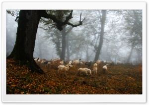 Sheep HD Wide Wallpaper for Widescreen