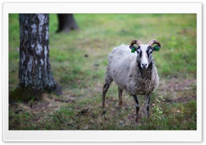 Sheep HD Wide Wallpaper for 4K UHD Widescreen desktop & smartphone