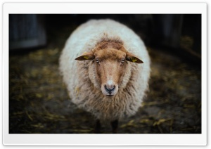 Sheep - Netherlands HD Wide Wallpaper for 4K UHD Widescreen desktop & smartphone