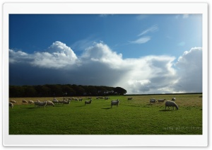 Sheep Grazing HD Wide Wallpaper for Widescreen