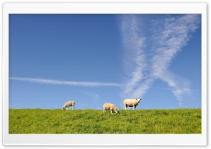 Sheeps HD Wide Wallpaper for Widescreen